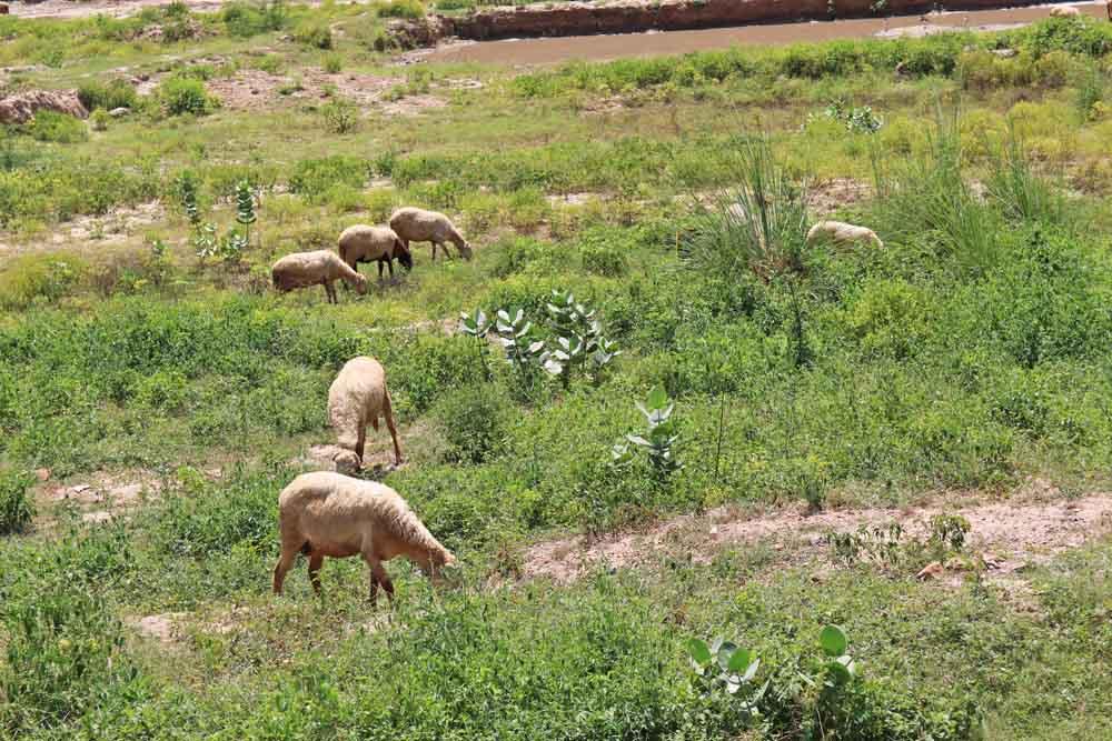 goat-sheperd-sell-jaipur-india